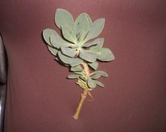 Rock purslane (Calandrinia spectabilis) succulent cutting