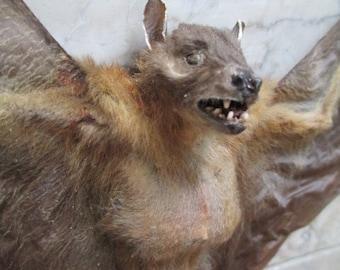 """Large 14"""" Wolf Bat Specimen - SHIP FREE"""