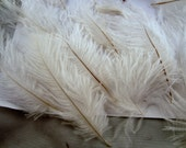25 OSTRICH Natural white 2 to 5 inches craft feathers natural feathers wedding feathers