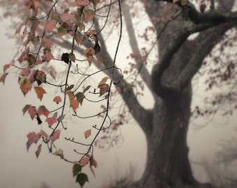 fall photography, autumn trees, tree photography, maple tree, fall color, fog, landscape photography, Autumn Maple