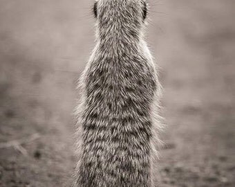 African Meerkat, Meerkat photo, cute baby animal, baby meerkat