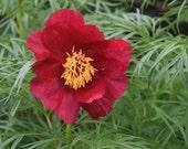 PEONY - Paeonia Anomala - RARE Plant