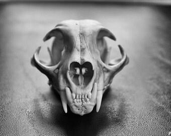 American Bobcat Skull