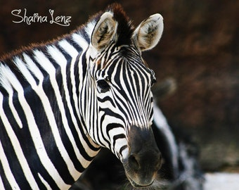 Zebra Photograph Knoxville Zoo Foamboard Mounted, Animal art, print, Wall art, safari, black and white, nature photo, gift