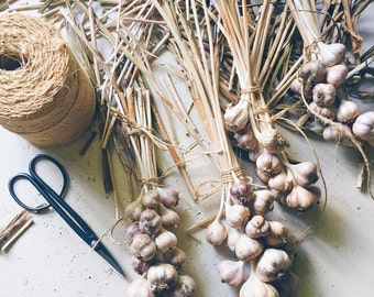 Organic Fresh Hardneck Garlic Bundle Braid Garlic Braid for Sale Cooking Garlic Dozen 13 Bulbs