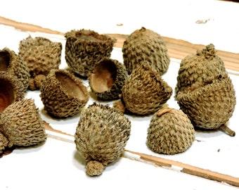 Large Acorn Caps, Bur Oak Tree Big Fringed Hats, Autumn Woodland Fall Thanksgiving Christmas Holiday Natures Craft Supply itsyourcountry