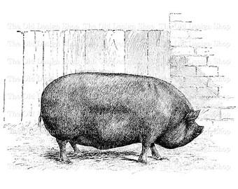 Pig Clip Art Prize Berkshire Printable Vintage Farm Illustration Digital Download PNG JPG Image