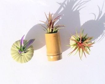 Air Plant Set of 3 refrigerator magnets with plants