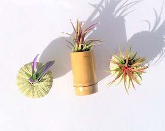 Air Plant Single refrigerator magnet comes with plant