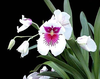 Miltoniopsis Pink Momma pansy orchid nicely started seedling