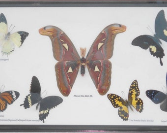 7 Real Butterflies Moth(M) collection Taxidermy framed/BF07K