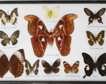 REAL 11 BEAUTIFUL BUTTERFLIES Moth Collection in frame/B10S
