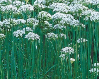 Garlic Chives Culinary Perennial Herb Live Plant