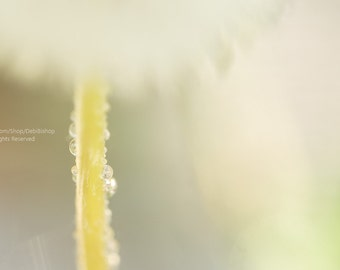Morning Dew On Dandelion Stem -Nature Floral Wall Art Home Decor -Pastels & White -Fine Art Photograph On Metallic Paper -Bedroom Decor