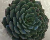 Succulent Plant - Echeveria Minima