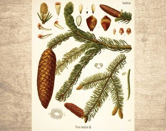Spruce Botanical Illustration - giclee print, choose your size - Botanicals, Vintage, Illustrations, Poster Art, Decor, Botany
