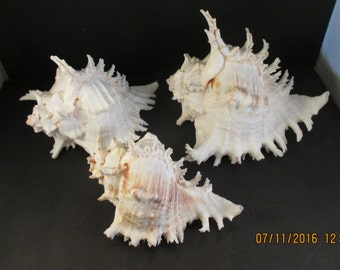 Ramosus Murex Sea Shells from Pacific REDUCED