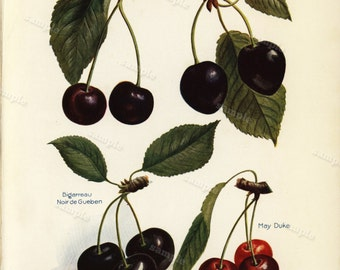 Cherries Fruits original colored Lithograph print clip art home decor botanical natural history From John Wrights publication 1891