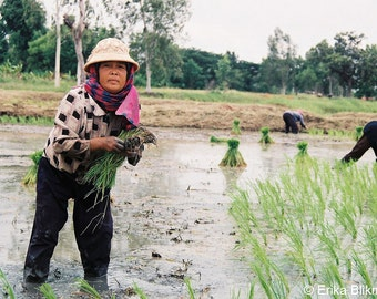 Planting rice on a very hot day, Thailand