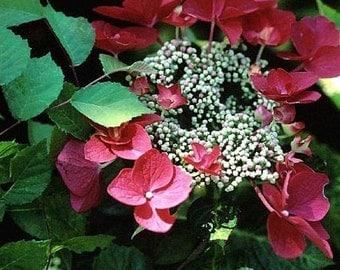 Lady In Red Lacecap Hydrangea - Live Plant - Quart Pot
