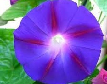 PURPLE MORNING GLORY Seeds 20 Fresh seed ready to plant in your garden or trellis