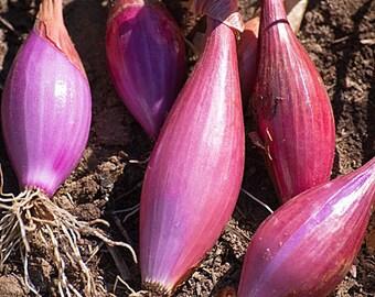 "Torpedo Onion ""Rossa Lunga de Tropea"", heirloom gardening seeds. FREE SHIPPING"