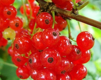 Red currant, black currant, bush