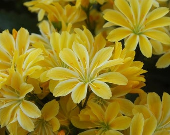 Lewisia cotyledon 'Yellow'  ',Suitable for growing in containers, Great In Container, Perennial.