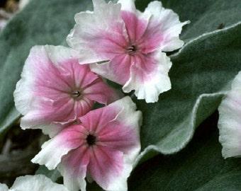 30+ Angel's Blush Heirloom Lychnis / Perennial Flower Seeds