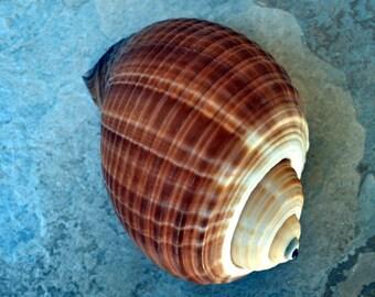 """Large Tun Seashell (4-5"""") - Tonna Oleria"""