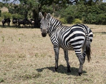 Animal Photography - Zebra Print - Maasai Mara, Kenya - Safari