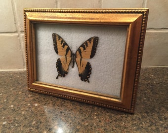 Framed Mounted Butterfly