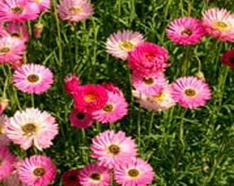 Paper Daisy - Rose - 50 seeds each pack
