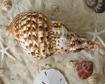 """Natural Sea Shell 8-9"""" Triton Shell,  Beach Home Decor, Coastal Decor, Beautiful Shell, Triton Shell"""
