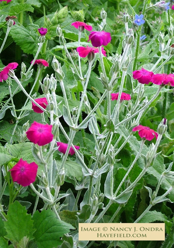 Lychnis coronaria Rose Campion 50 Seeds