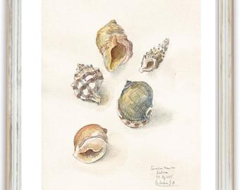 Seashell - Pencil & Watercolor drawing of seashells- PRINT maritime art wall decor by Catalina.