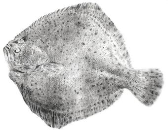 Print A4: Turbot (Scophthalmus maximus)