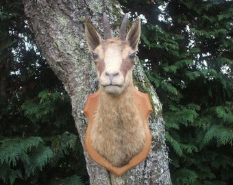 Taxidermy mounted Chamois Head Mountain Goat