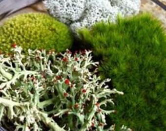 Mix of 2 Live Woodland Moss & Lichen~Star,Feather,Pincushion,Tree,Irish,Reindeer~ Terrarium~ Native~SHADE/WOODLAND garden~Hardy~Naturalize