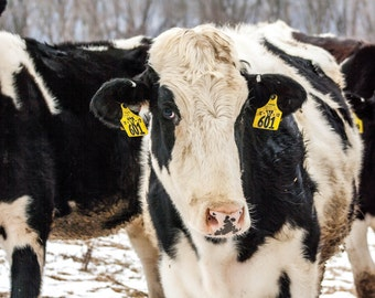Cow-uflage//Cows//Photography//Farm Animals//Winter//Camouflage//Black & White Cow//Friendly Animals