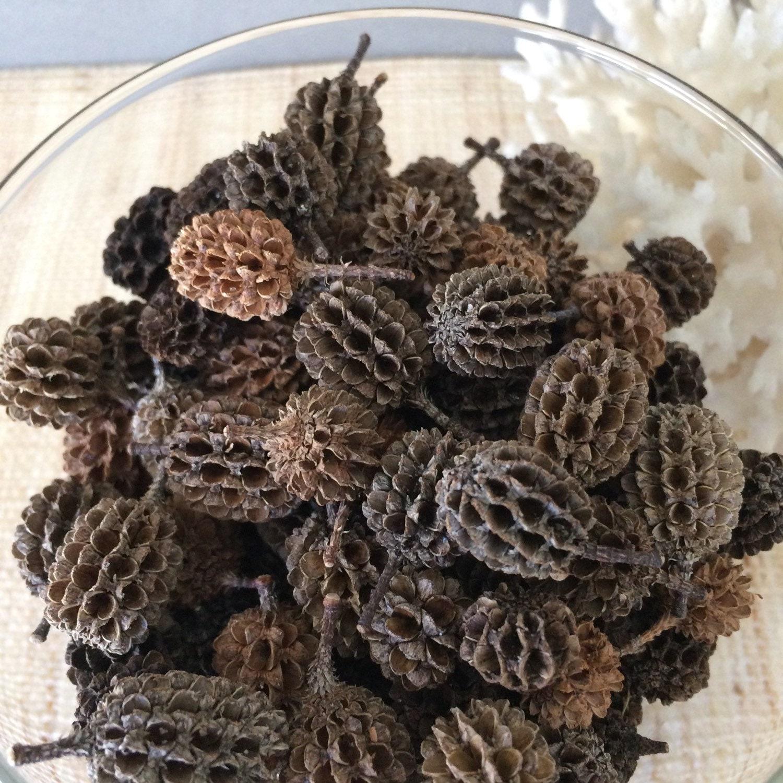Australian pinecones beach pine cones seedpods tiny for Long pine cones