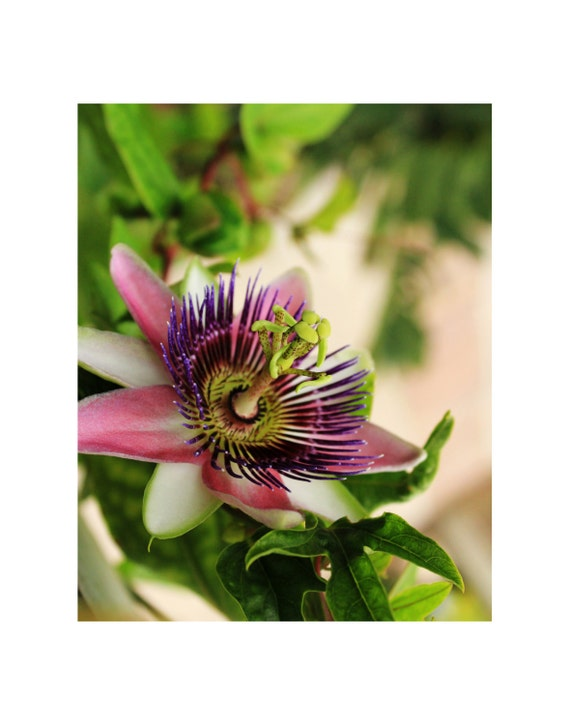 Flower photography art print, pink passionflower photo, pink passionflower art print, passion, botanical photography, nature photography