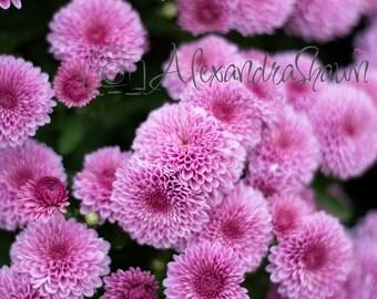 Purple Mum Flowers- Digital Download