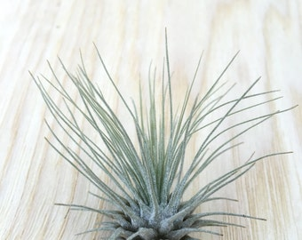 Wholesale Tillandsia fuchsii air plant - 25, 50, 75, 100 easy care