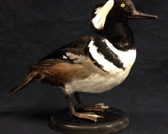 Taxidermy duck, Hooded merganser