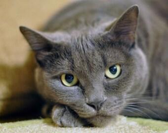 Grey Cat Photograph