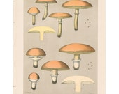 Antique 1895 mushroom print by CHARLES PECK, Plate 33, botanical, fungi, vintage chromolithograh print
