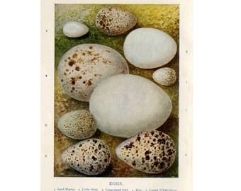 1910 ANTIQUE EGG LITHOGRAPH original antique bird eggs print