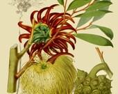 antique french botanical print eucalyptus cornuta illustration digital download