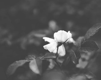 garden rose-b & w-flower photography -flower photo-black and white photography (5 x 7 Original fine art photography prints) FREE Shipping)